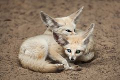 Fennec foxes Vulpes zerda. Royalty Free Stock Image