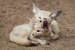 Fennec foxes Vulpes zerda. Wildlife animal Royalty Free Stock Images