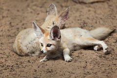 Fennec foxes Vulpes zerda. Wildlife animal Royalty Free Stock Photo