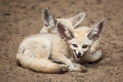 Fennec foxes Vulpes zerda. Wildlife animal Royalty Free Stock Photos