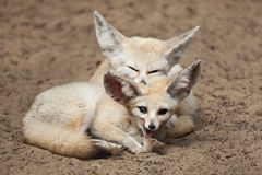 Fennec foxes Vulpes zerda. Royalty Free Stock Photography