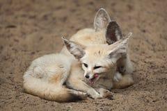 Fennec foxes Vulpes zerda. Wildlife animal Stock Photos
