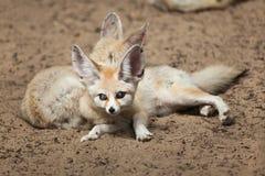Fennec foxes Vulpes zerda. Stock Photos
