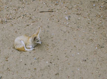 Fennec foxes wildlife. Fennec foxes Vulpes zerda. Wildlife animal Stock Photo