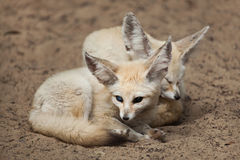 Fennec foxes & x28;Vulpes zerda& x29;. Royalty Free Stock Images