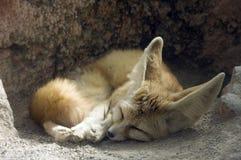 Fennec sleeping. Orange and white Fennec sleeping curled up Stock Image