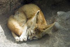 Fennec sleeping Stock Photography