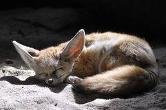 Fennec sleeping on the sand Stock Photography