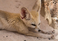 Fennec stretches his legs. Fennec fox is located in the sand and stretching the paws Stock Photos