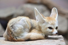 Fennec Stock Photos