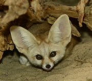 Fennecus gaze. Fennec fox (Vulpes zerda) - closeup front view from hiding place Stock Photo