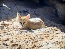 Fennek liegt auf dem Sand an einem sonnigen Tag und passt auf das Opfer auf Lizenzfreies Stockfoto