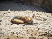 Fenneklüge auf dem Sand an einem sonnigen Tag und am Schlaf Lizenzfreie Stockfotos