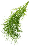 Fennel. A branch of fennel isolated on a white background royalty free stock images
