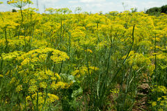 Fennel. Lots of fennel growing on the field royalty free stock photography