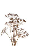The fennel Stock Image