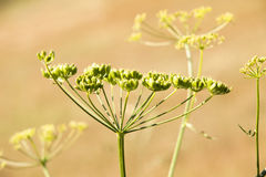 Fennel Stock Images