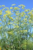 Fennel Royalty Free Stock Photos