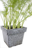 Fennel. In a metal pot on a white background Royalty Free Stock Photos