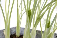 fennel Royaltyfria Foton