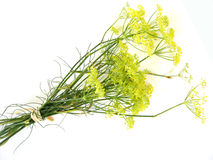 Fennel blossoms Stock Photos