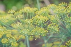 Fennel blossoms. Fennel flowers. Fennel seeds. Seasoning for food. Fennel in a garden Stock Images