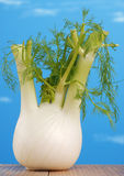Fennel with blue background Stock Photos