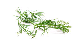 Fennel Branch Isolated Stock Image