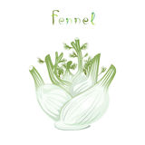 Fennel Bulb. Illustration of fresh vegetable. Cartoon kitchen plant. Clip art spice with title. Isolated on white Royalty Free Stock Image