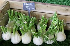 Fennel Bulbs. Stock Photography