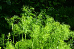 Fennel bush in nature Stock Photo