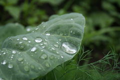 Fennel and cabbage leaf with raindrops royalty free stock photo