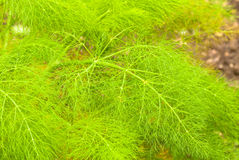 Fennel detail Royalty Free Stock Images