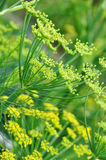Fennel. Detail of a yellow fennel blossom Stock Images