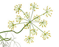 Fennel Dill flower Stock Image