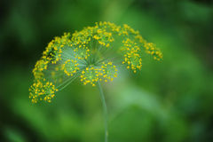 Fennel. Fennel inflorescence, umbrellas. Royalty Free Stock Photo