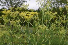 Fennel. Is a sweet-scented herb used for food and medicine royalty free stock photography