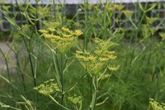 Fennel. Is a sweet-scented herb used for food and medicine stock photos