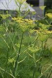 Fennel. Is a sweet-scented herb used for food and medicine stock photography