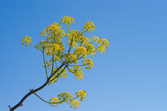 Fennel flower Stock Image