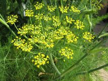 Fennel Flower Close Up Starburst Royalty Free Stock Images