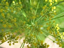 Fennel Flower Close Up Starburst Stock Photo
