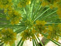 Fennel Flower Close Up Starburst. Fennel Foeniculum vulgare is a flowering plant species in the carrot family.[2] It is a hardy, perennial herb with yellow Royalty Free Stock Image