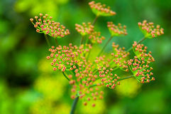 Fennel flower Stock Photography