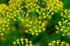 Fennel flower. On a green background. Flower of dill stock image