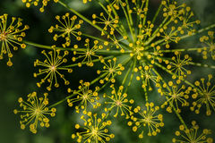 Fennel flower on a green background. Fennel (Foeniculum vulgare). Fennel flower on a green background. Flower of dill stock photography
