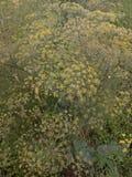 Foeniculum Vulgare stock photo