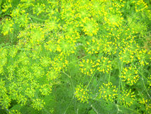 Fennel flowers Stock Photos