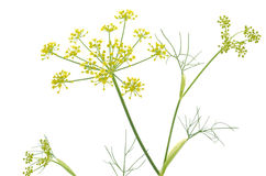 Fennel flowers Stock Photo