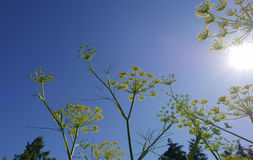 Fennel flowers. Against a clear blue sky with sun rays Stock Images